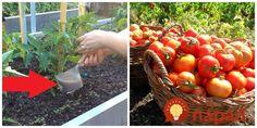 """Napísala nám pani Milka zo Záhoria, ktorá by sa rada podelila o svoju skúsenosť s pestovaním paradajok bez chémie. Tento tip možno využijete aj vy, je celkom zadarmo a podľa skúsenosti pani Milky veľmi účinný!        """"Dočítala"""