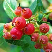 Grow Your Own 'Pink Lemonade' Blueberry. Sweeter than normal blueberries.