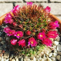 Cactus of the Day. Today a nice Mammillaria in bloom. You can see that these have a wide bloom ring and are not shy about showing off their flowers From the Alegria Cactus Collection Enjoy  #cactusandsucculents #droughttolerant #waterwisegardening #cactus #cactusjon #cactusclub #cactuscrew #cactushome #cactushoarder #cactusobsessed #cactusoftheday #cactusmagazine #cactusflower by cactus_jon #waterwise #waterwisegardening #drought #droughttolerant