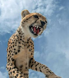 .  Photography by © (Marc MOL). More close encounters. #Cheetah #Nature #Ndutu #Wildlife #Sky #RawNature #Serengeti #Tanzania