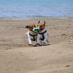 Jack Russell Terriers: 14 Summer Rules You Must Know Chihuahua Dogs, Pet Dogs, Dogs And Puppies, Doggies, Pets, Shelter Dogs, Animal Shelter, Animal Rescue, White Terrier