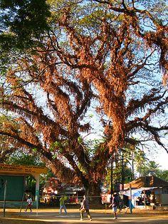 tamarind trees   Tamarind tree, Cochin, Kerala, India