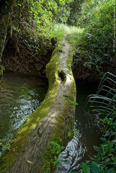 Tree Bridge