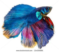 Image result for blue siamese fighting fish