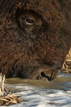 images of bison | Bison