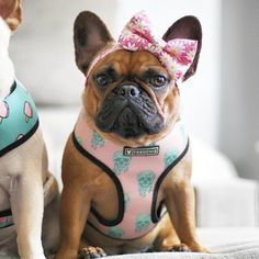 Cuteness.. I need that bow for my bulldog. Too cute.