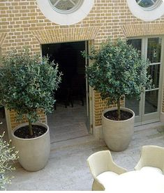 Large pot for indoor olive tree- maybe not this big! Large pot for indoor olive tree- maybe not this Patio Trees, Garden Trees, Patio Plants, Backyard Patio, Trees In Pots, Potted Plants, Indoor Olive Tree, Potted Olive Tree, Indoor Trees