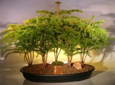 Norfolk Island Pine Bonsai Tree Forest - Five Cluster Planting