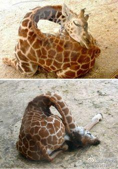 how giraffe sleeps