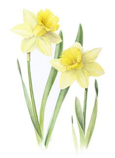 flowers paintings of daffodil -