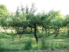 Pruning Helps Old Fruit Trees Produce More Fruit - Organic Gardening - MOTHER EARTH NEWS