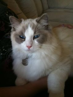This is my cat Vanilla Mousse (we call him Mousse) he is a blue bicolor ragdoll and is the coolest cat in the world (he's very charming and funny)!