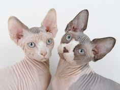 You are a Sphynx! One of the most unique breeds, you are definitely unique yourself and not afraid to stand out! You are innovative and always think of ideas that no one else thinks of. You are open minded and non-judgmental of others, and most likely hang around other people just as unique as you!