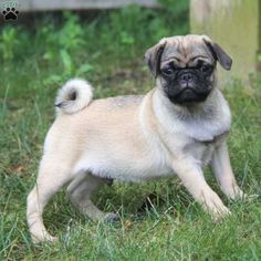Pierce is a lively Pug puppy with a nice short nose and an adorable face! This bouncy pup is vet checked and up to date on shots and wormer. Pierce can be registered with the ACA and comes with a health guarantee provided by the breeder. This happy pup is family raised with children, and loves to follow you around! To find out more about Pierce, please contact James today!