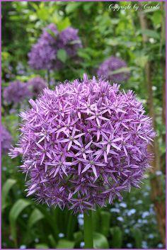 Allium love