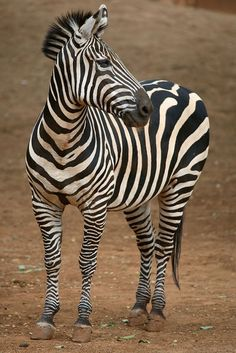 From the Zookeepers Journal, .everything you need to know about caring for zebras