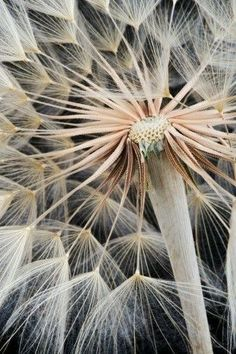 Dandelion (Taraxacum officinale) seed head on black background Dandelion Wall Art, Dandelion Wish, Elements Of Design Shape, Taraxacum Officinale, Seed Pods, Patterns In Nature, Natural Forms, Macro Photography, Belle Photo