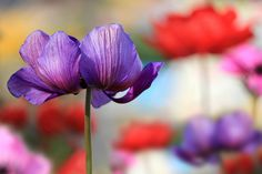 Purple anemone by tanakawho, via Flickr