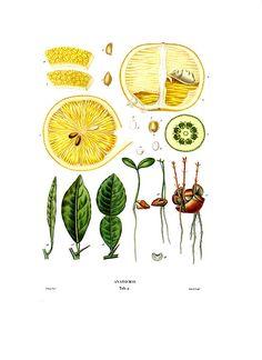 Citrus fruit anatomy // Joseph Risso's Histoire Naturelle des Orangers, originally published ini 1818-1822 in Paris