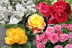 Save on bare-root rose bush collection from Blooming Direct Hardy Perennials, Hardy Plants, Incrediball Hydrangea, Growing Lavender, Brick Garden, British Garden, Organic Roses, Rose Bush, Summer Colors