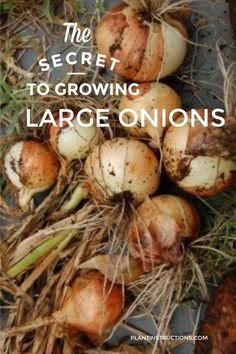 The secret to growing large onions then, is actually to plant them in the fall - this way, they get a head start in the fall, go dormant in the winter, and spring back up again in spring! Fall Vegetables, Planting Vegetables, Container Vegetables, Succulent Containers, Container Flowers, Container Plants, Growing Veggies, Growing Plants, Growing Carrots