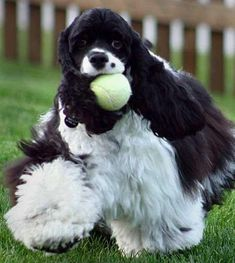 Cocker spaniel with a tennis ball ... This says it all