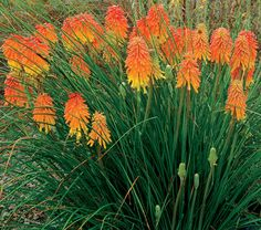 Red Hot Poker(Kniphofia spp)This unusual plant features stunning red and yellow flower spikes atop slim green stems and leaves, creating a dramatic focal point in the fall perennial bed.   Red Hot Poker is also very deer resistant, while at the same time being attractive to bees, butterflies and birds. Pair it with the blue or purple tones of Salvia leucantha or fall asters.