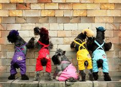 Schnauzers in overalls? I think not. But they sure are cute in this photo.