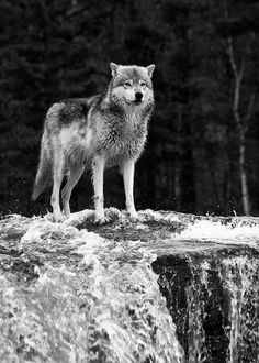 Magnificent wolf in the falls