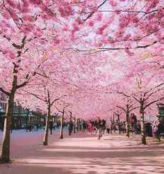 Cherry Blossom Avenue, Bonn, Germany - http://www.aplacefornature.com/cherry-blossom-avenue-bonn-germany/
