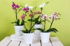 Amikor az orchidea már megnőtt, gyökerei teljesen kitöltik a cserepet, vagy az ültetőközeg állapota romlott Orchid Pot, Moth Orchid, Orchid Plants, Kalanchoe Blossfeldiana, Phalaenopsis Orchid Care, Orchids, Shower Plant, Zantedeschia Aethiopica, Smart Garden