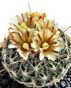 #stenocactus #cactus #cactuslove #succulent #succulove #desert #plant #nature…