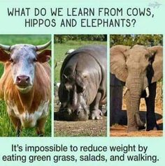 """""""What do we learn from cows, hippos, and elephants? It's impossible to reduce weight by eating green grass, salads, and walking."""