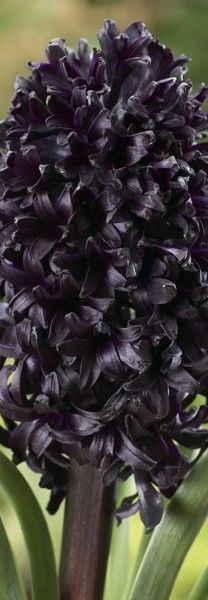 If you love black flowers, start your season off with sultry Hyacinth 'Midnight Mystic'™ As easy to grow as any other spring bulb, but with more drama. Dark Flowers, Bulb Flowers, Exotic Flowers, Pretty Flowers, Most Beautiful Flowers, Fresh Flowers, Organic Gardening, Gardening Tips, Vegetable Gardening