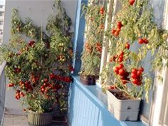 Zeleninu pěstuje v samozavlažovacích truhlících. Úrodu má neskutečnou - iDNES.cz Pesto, Diy And Crafts, Garden, Flowers, Plants, Vegetables Garden, Pictures, Compost, Balcony