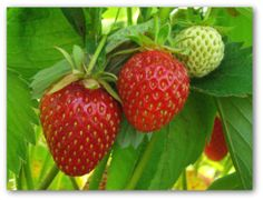 Growing Strawberries, How to Grow Strawberries, Planting Strawberries