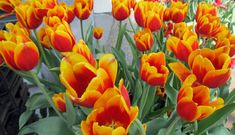 Overview Tulips are perennial herbaceous, flowering plants that bloom during the spring season with pink, red, yellow or white colored flowers. Mothers Day May, Mothers Day Special, Mothers Day Flowers, Happy Mother S Day, Orchid Plants, Orchids, Amsterdam Tulips, Rabbit Eating, Ornamental Plants