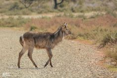 Waterbuck. Northern Cape, South Africa
