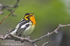 The  Blackburnian Warbler (Setophaga fusca) is a small New World warbler. Description from imgarcade.com. I searched for this on bing.com/images