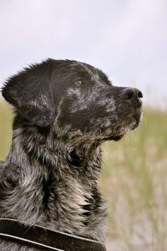 Labrador-Australian Shepherd Mix Gatsby in the Netherlands
