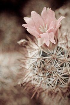 Desert rose / Discovered at the U.S. Botanic Garden, Washington, D.C.