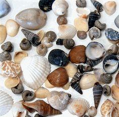 Tiny Shells Sea Shells 10-1/2 oz. pkg (Save 50%)