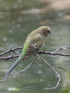 Red-rumped Parrot female (Psephotus haematonotus)