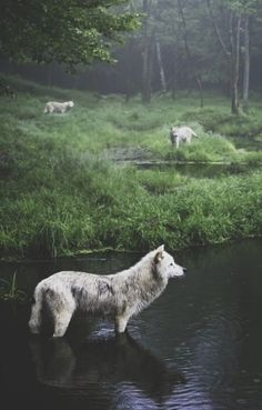 Three Wolves photography animals nature wolf wildlife wilderness. There's something so calming about this image
