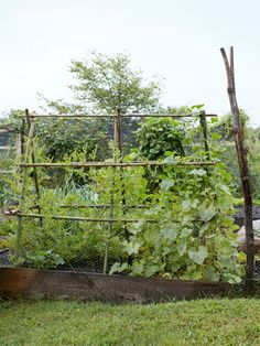 An A-frame trellis supports 'Sunsweet' watermelon (left) and 'Waltham Butternut' squash vines in this #garden.