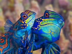 Mandarin Dragonet..love the bright colors...like those beautiful poisonous frogs