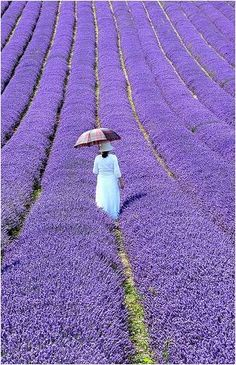 Comme un Monet... / Champs de lavande. / The Lavender fields. / Provence, France.