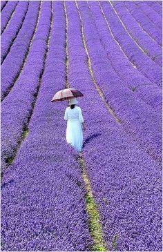 The Lavender fields in Provence, France.  Via: Alessandra Colaci