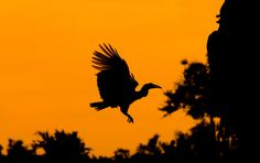 Flying Ground Hornbill Silhouette taken on a self-drive Africa Silhouette, Eagle Silhouette, Kruger National Park, National Parks, African Tree, Silhouette Pictures, African Sunset, Baobab Tree