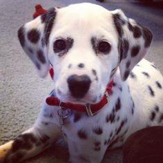 CKC dalmatian puppies coming nov 20, 2013. if interested contact HOLLYSDALMATIANS@GMAIL.COM